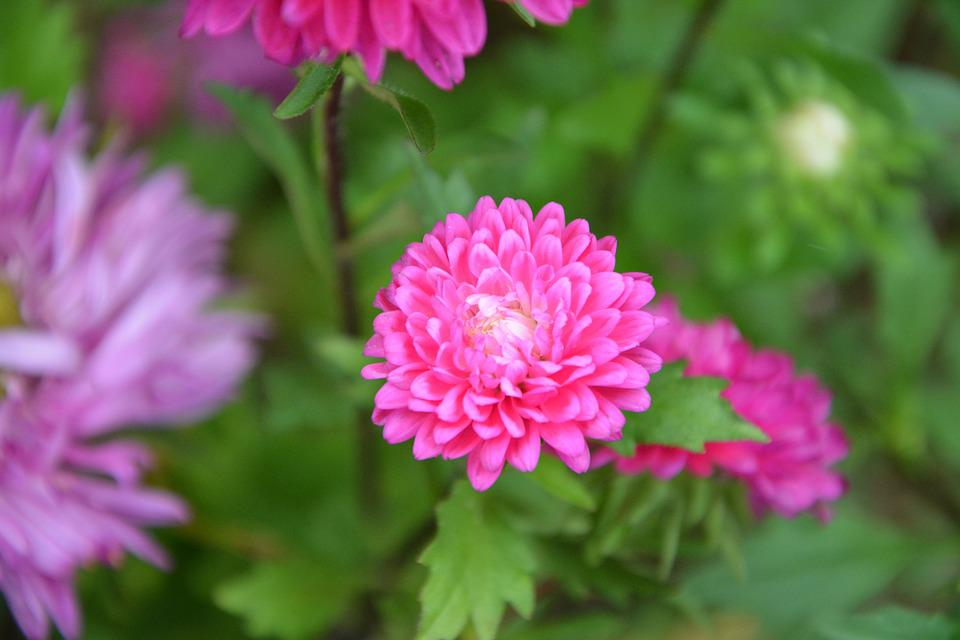 Free photo pink flowers plants flower plant green leaves max pixel flower pink flowers plants green leaves plant mightylinksfo