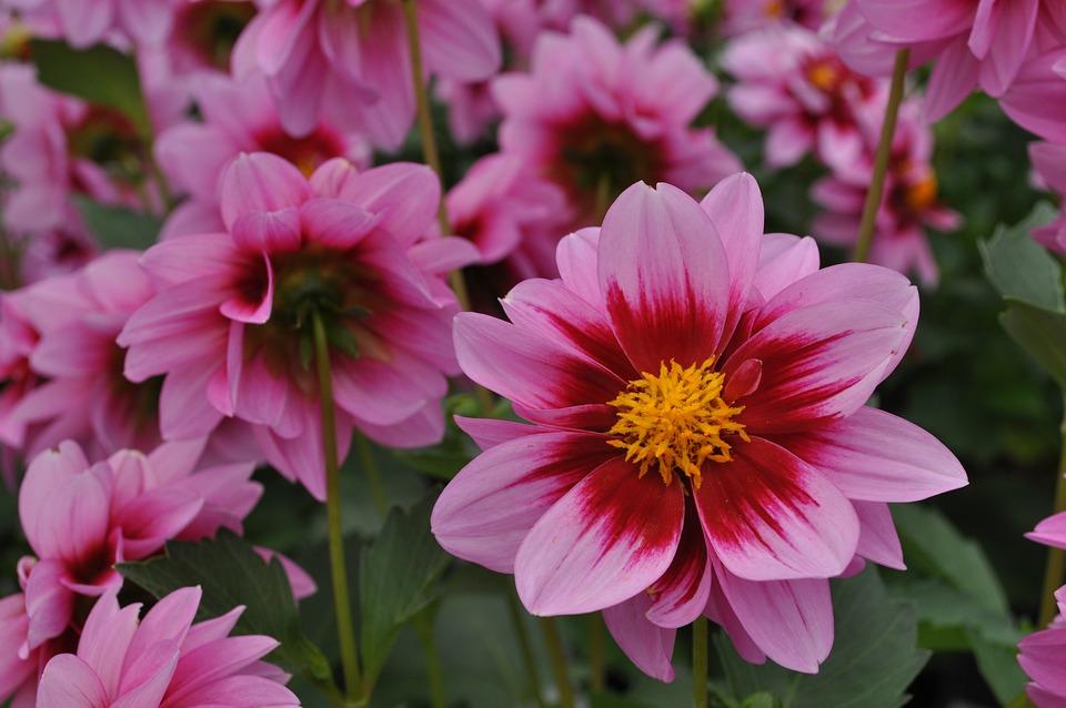 Flowers, Flower, Dahlia, Red, Pink, Summer, Plants