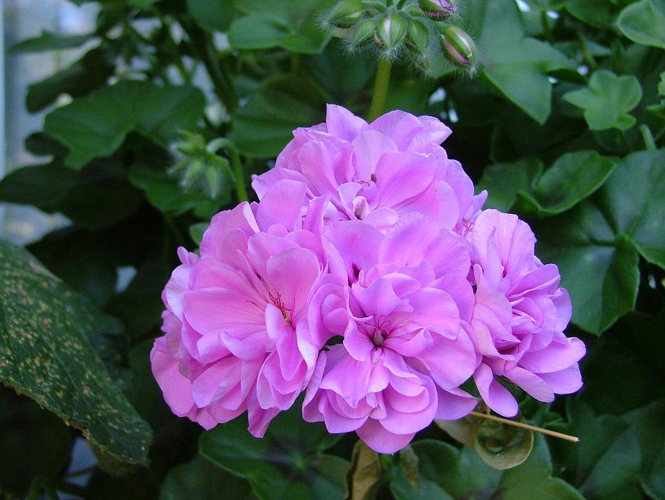 Rose Geranium, Pink Flowers, Flowering, Pelargonium