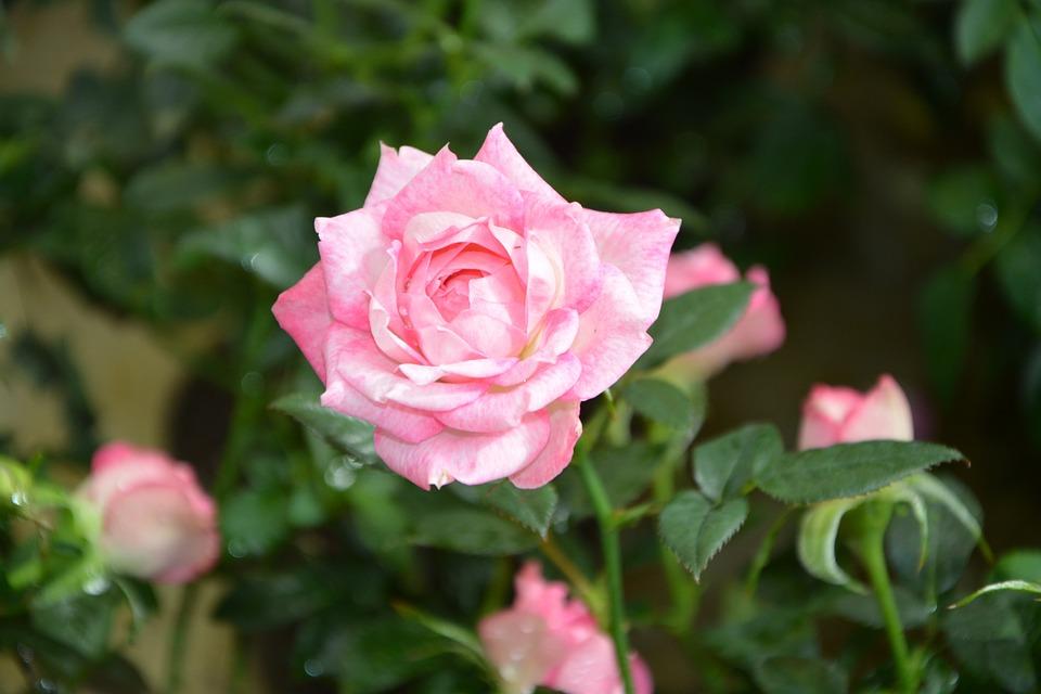 Rose Pink, Pink Flowers, Rosebuds, Flower, Rosebush