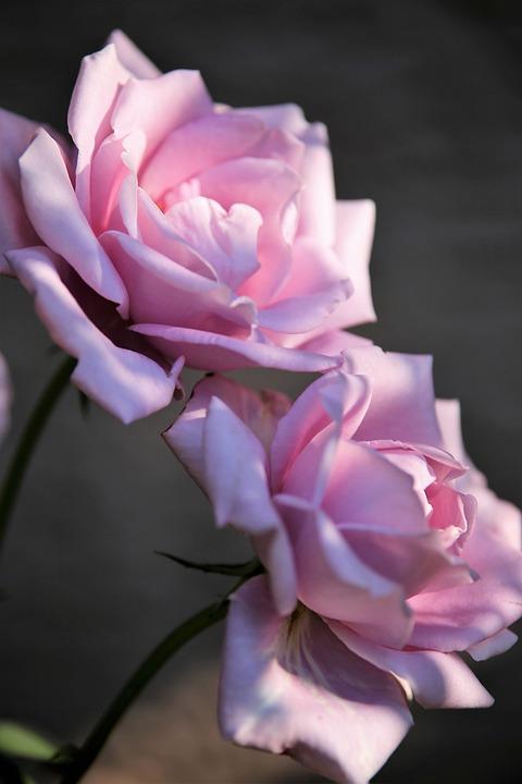 Roses Blue Moon, Pink Roses, Flowers, Pink Flowers