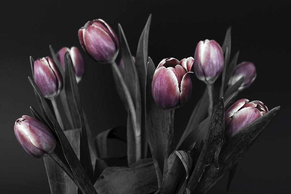 Free photo pink flowers spring nature tulips black and white max pixel tulips flowers pink black and white nature spring mightylinksfo