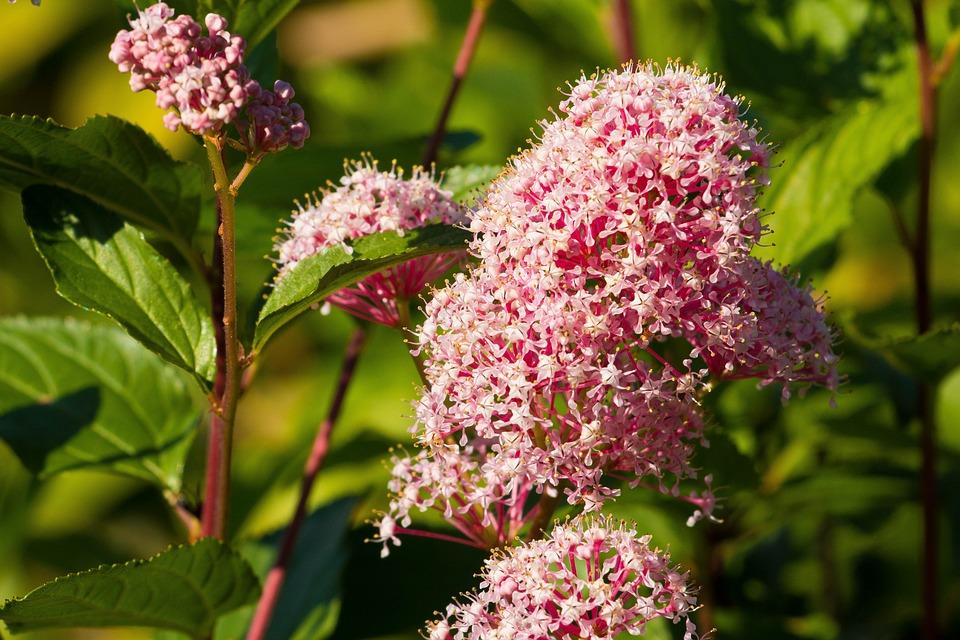 Flowers, Inflorescence, Bush, Purple, Pink, Violet