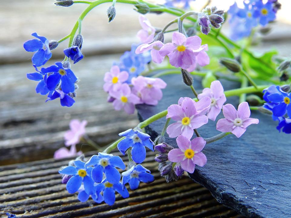 Free photo pink forget me not pointed flower blue flowers max pixel forget me not flowers blue pink pointed flower mightylinksfo
