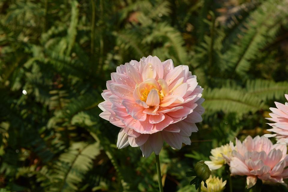 Pink Fresh Flower Flavor, Flowers, Chiang Mai Thailand