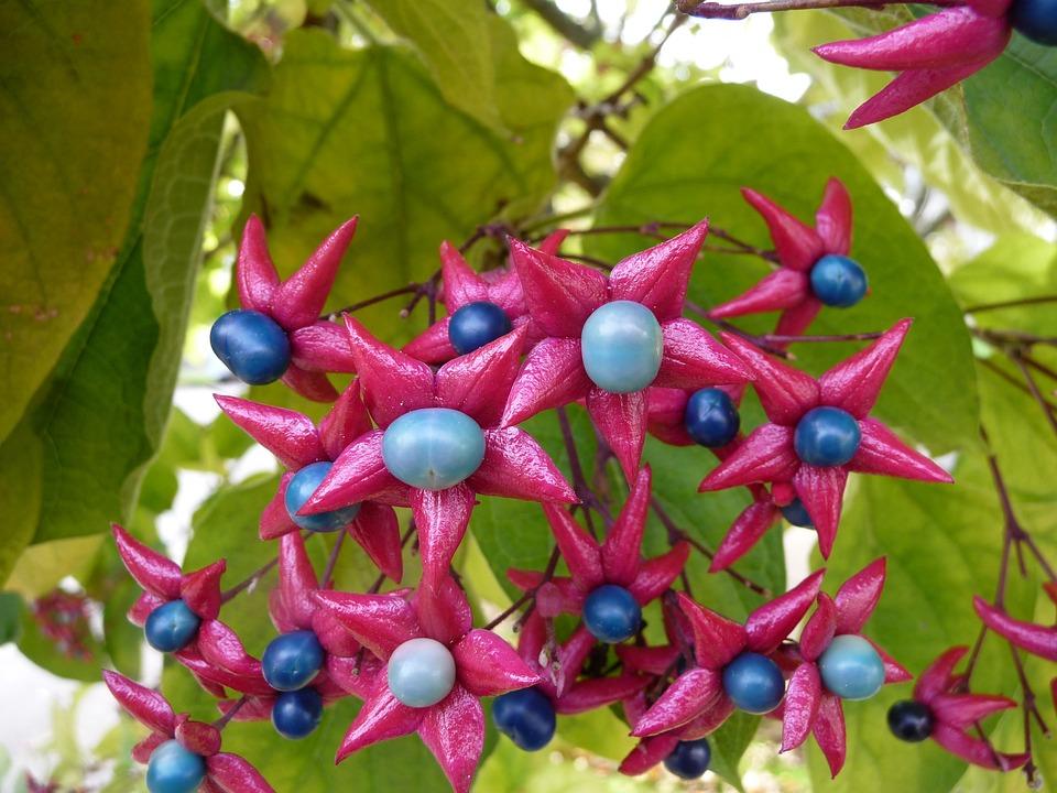 Harlequin Glorybower, Blue, Pink, Fuchsia, Flower