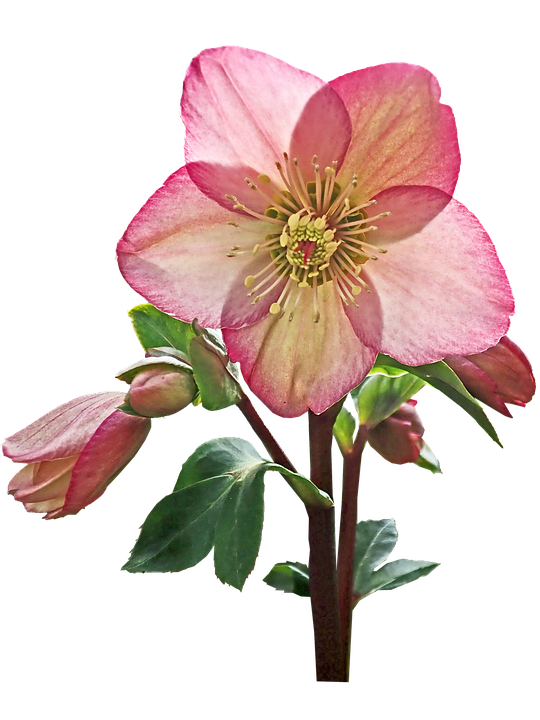 Flower, Helebore, Pink, Stem, Cut Out, Isolated, Garden