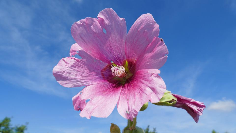 Flower, Sky, Summer, Clouds, Garden, Nature, Blue, Pink