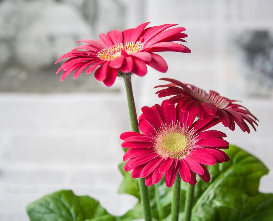 Flower, Spring, Summer, Garden, Nature, Gerbera, Pink