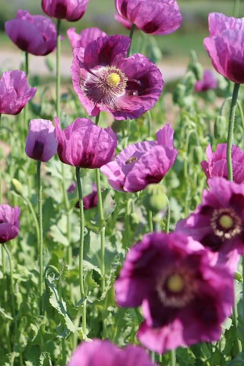Poppy, Pink, Papaver Somniferum, Germerode, Bloom