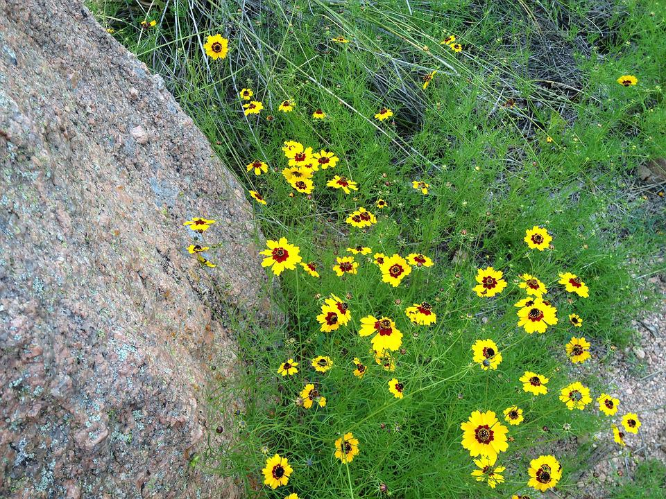 Yellow Wild Flowers, Pink Granite, Enchanted Rock Texas