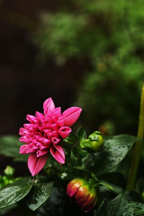 Flower, Garden, Pink, Green, Summer Flowers