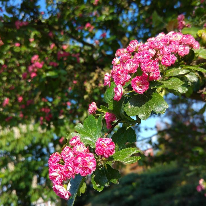 Pink Hawthorn, Blooming Hawthorn, Spring