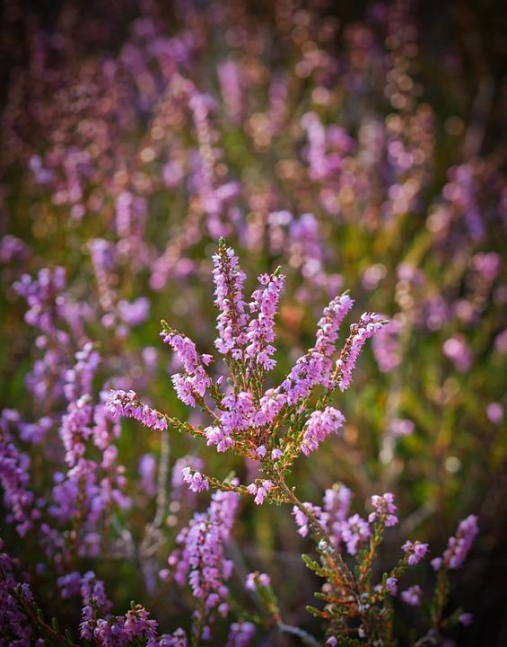 Heide, Nature, Heathland, Flowers, Pink, Heather, Erika