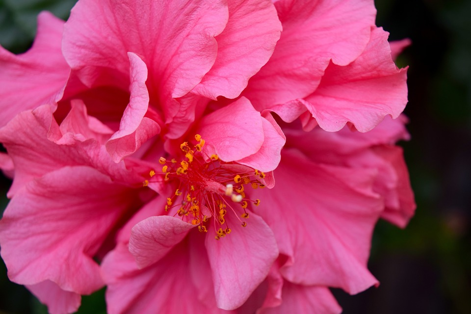 Hibiscus, Macro, Pink, Pistil, Flower, Tropical, Garden