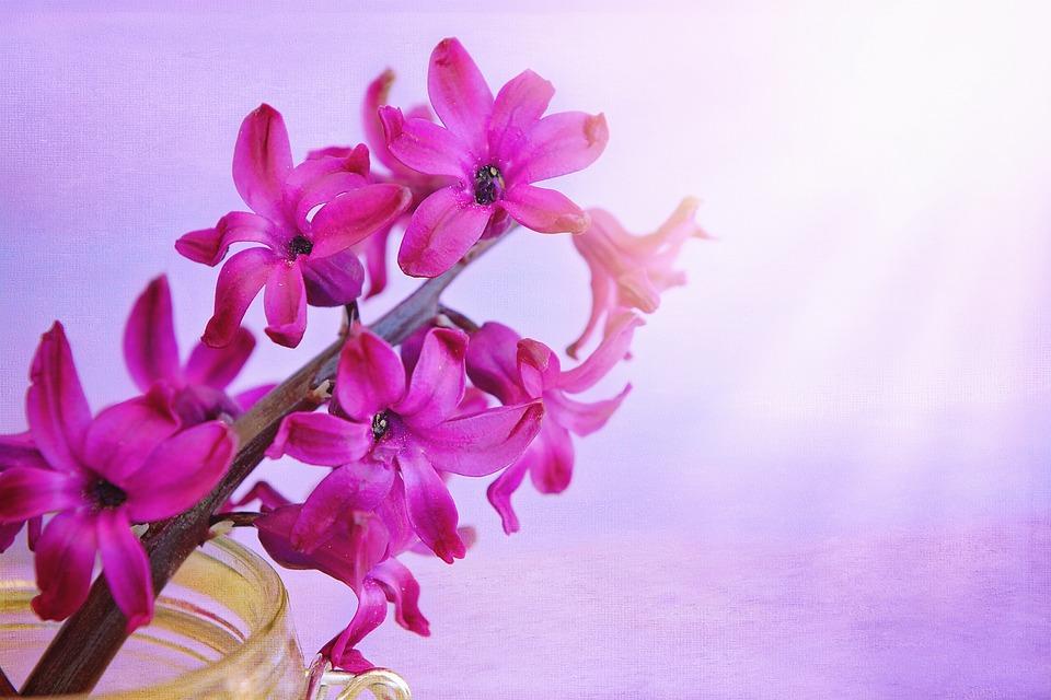 Hyacinth, Flower, Flowers, Pink, Spring Flower