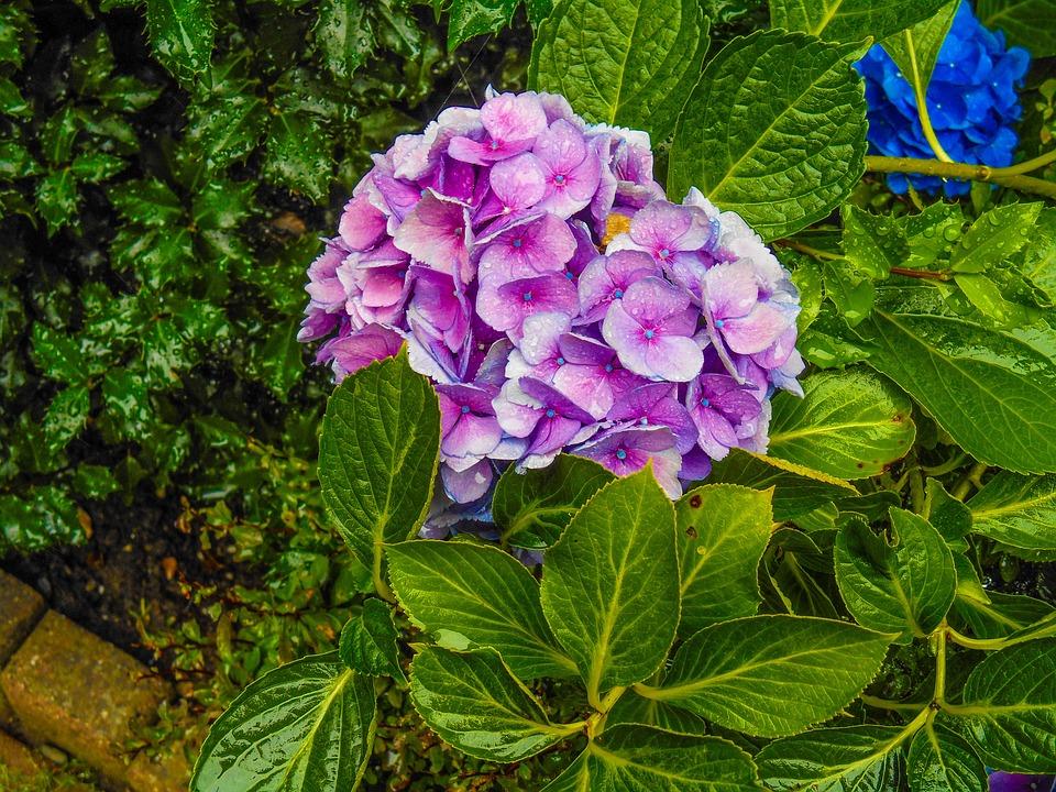 Hydrangea, Pink, Flower, Garden