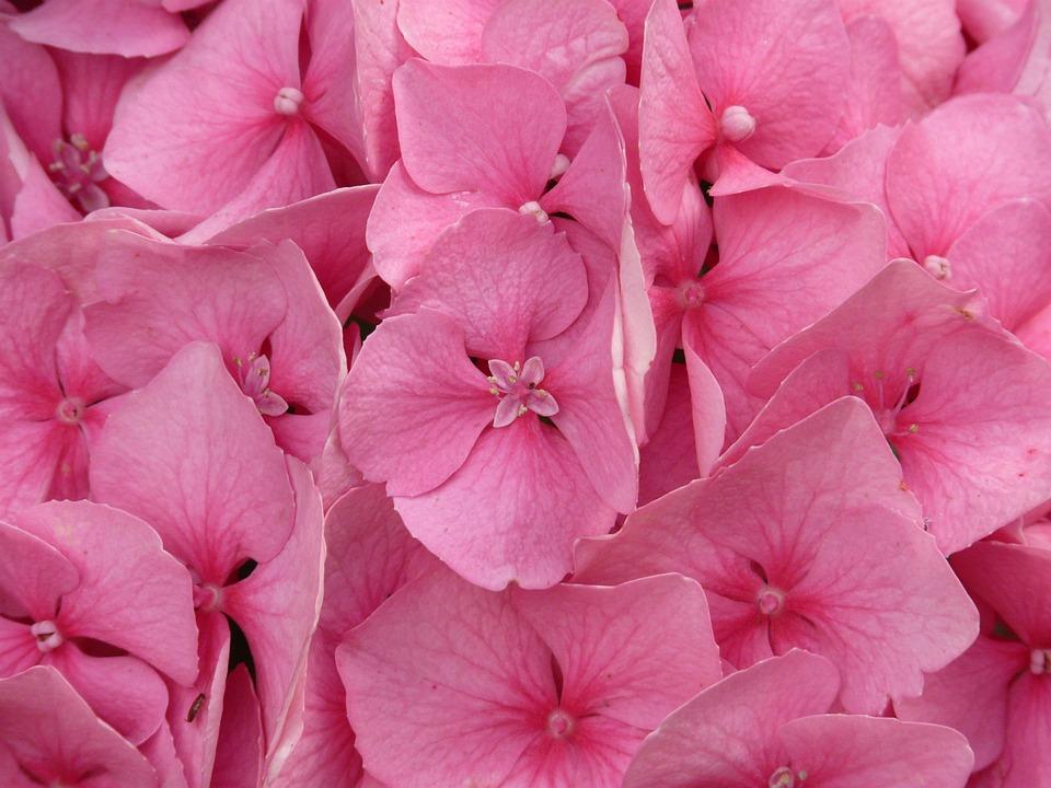 Hydrangea, Hydrangea Macrophyll, Ornamental Shrub, Pink
