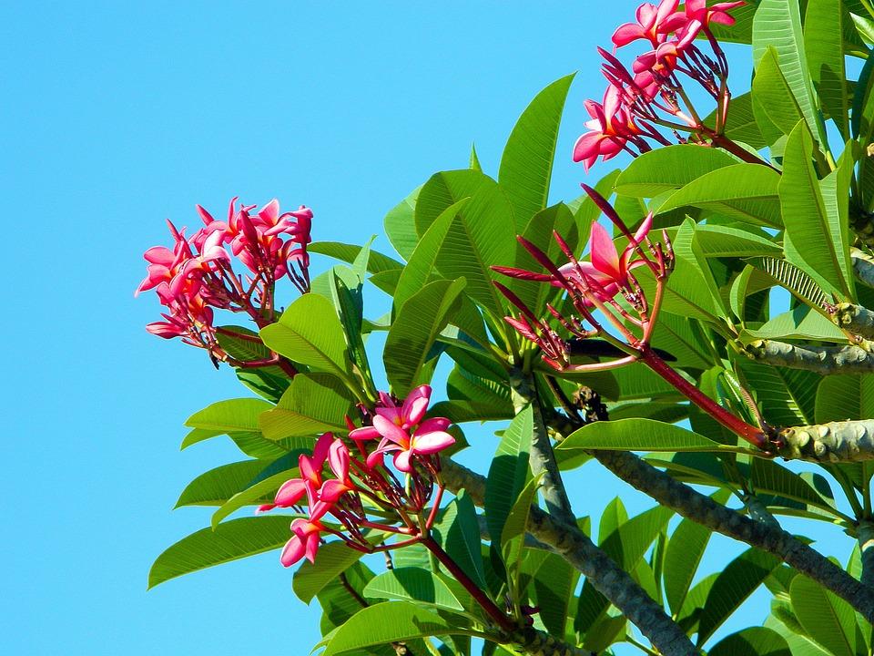 Bloom, Pink, Tree, Bush, Inflorescence, Foliage, Leaf