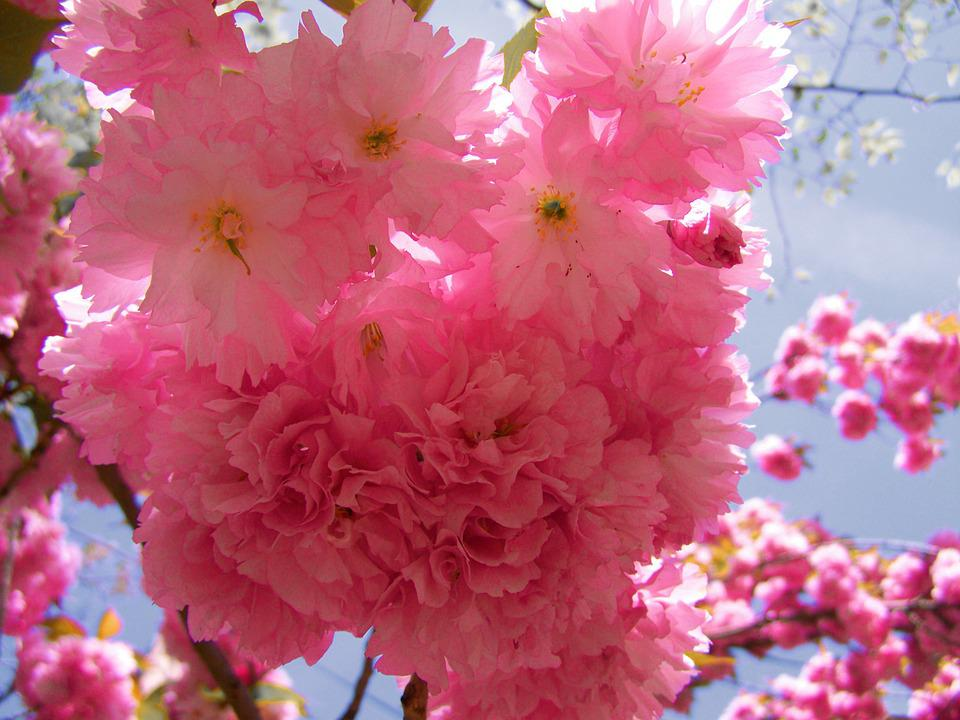 Japanese Ornamental Cherry Tree, Pink Inflorescences