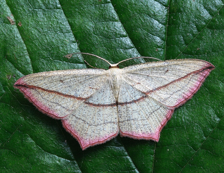 Moth, Macro, Insect, Close, Wing, Pink
