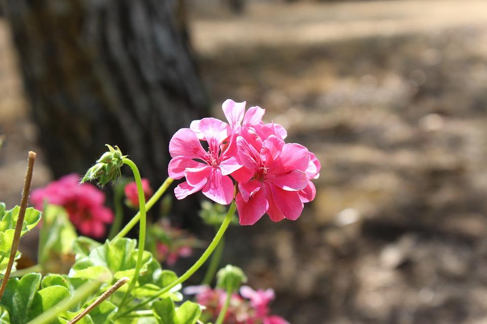 Flower, Pink, Pergine Valdarno, Italy, Tuscany