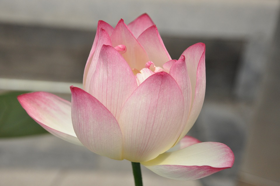 free photo plant flowers lotus pink lotus flower  max pixel, Beautiful flower