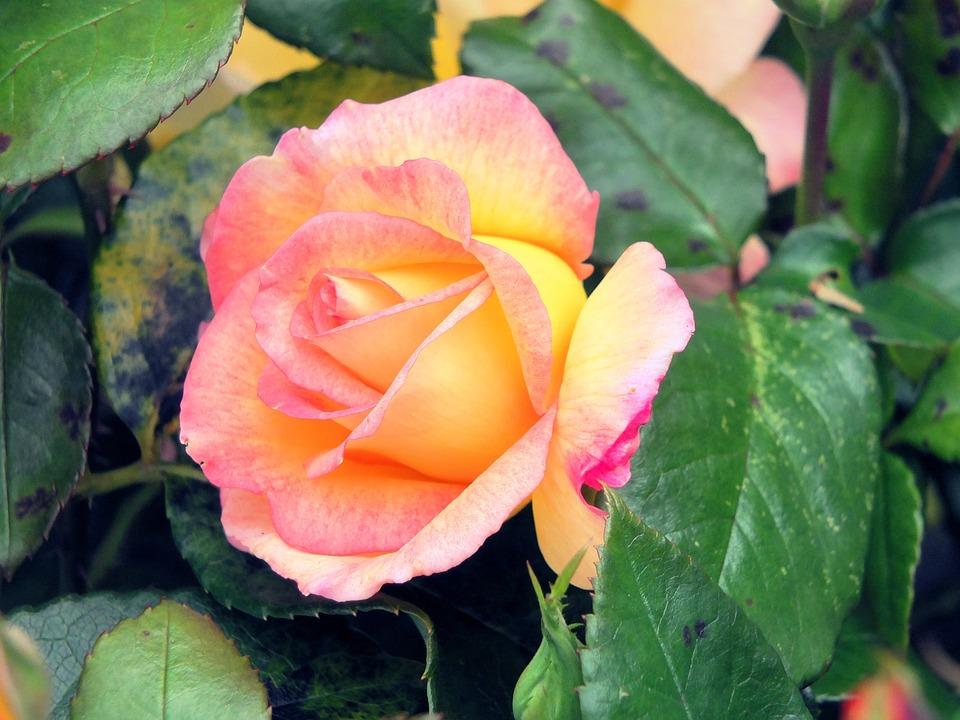 Rose, Flower, Beauty, Leaves, Pink, Love, Floral