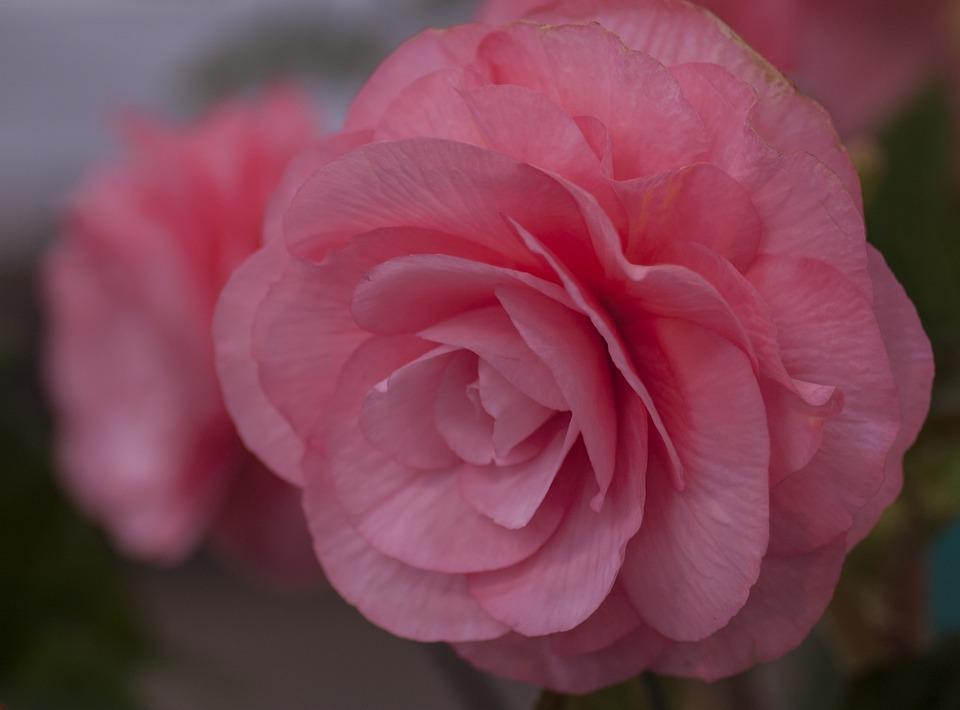 Begonia, Pink, Flower, Macro, Flora, Floral, Spring