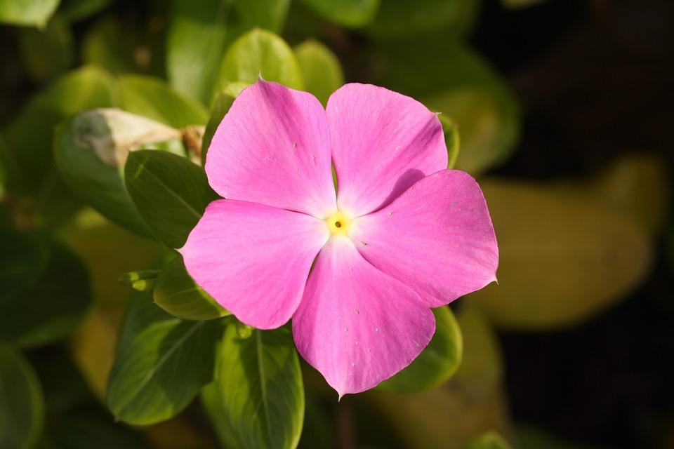 Flower, Pink, Purple, Macro, Nature, Pink Flower