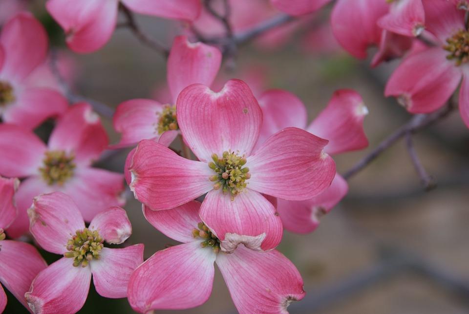 Magnolia, Dogwood, Blooms, Blossoms, Spring, Pink