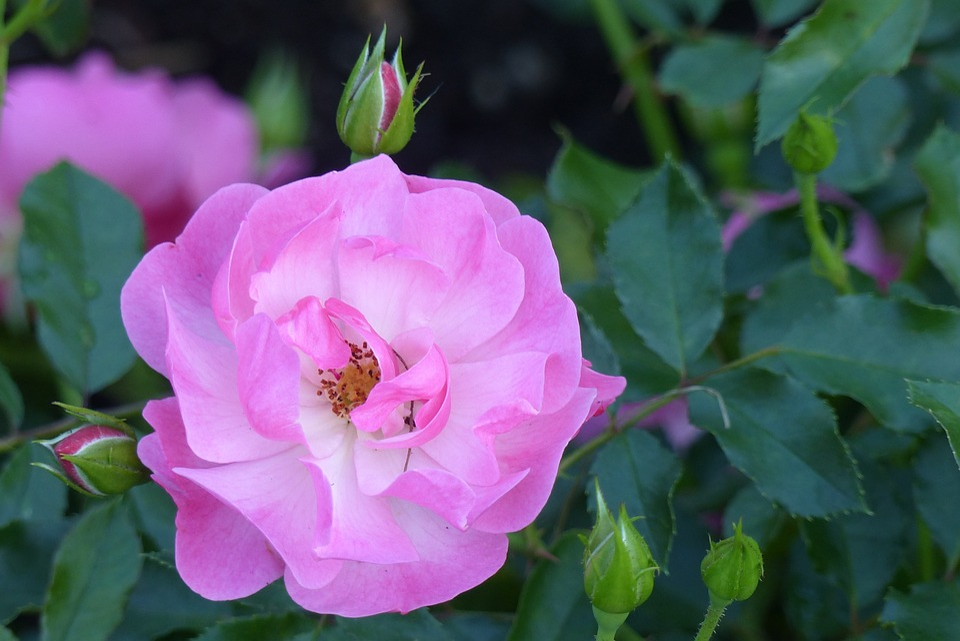 Rose, Maxi Vita, Blossom, Bloom, Bloom, Smell, Pink