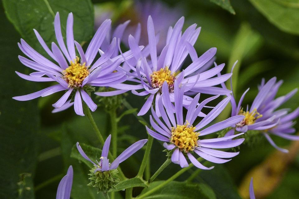 Alpine Aster, Wild Flower, Nature, Pink, Meadow