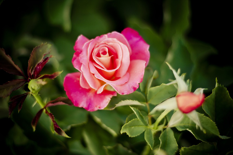 Rose, Nature, Roses, Flowers, Red, Pink, Beauty