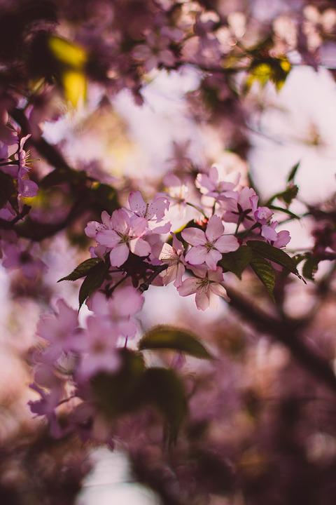 Blossom, Branches, Flora, Flowers, Nature, Pink, Plants