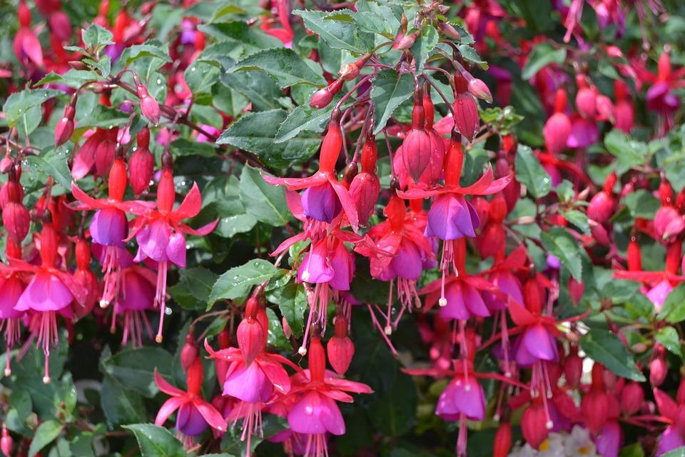 Bleeding Heart, Flower, Pink, Red, Nature, Blossom