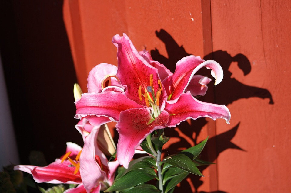 Flower, Pink, Flora, Summer, Nature, Red House