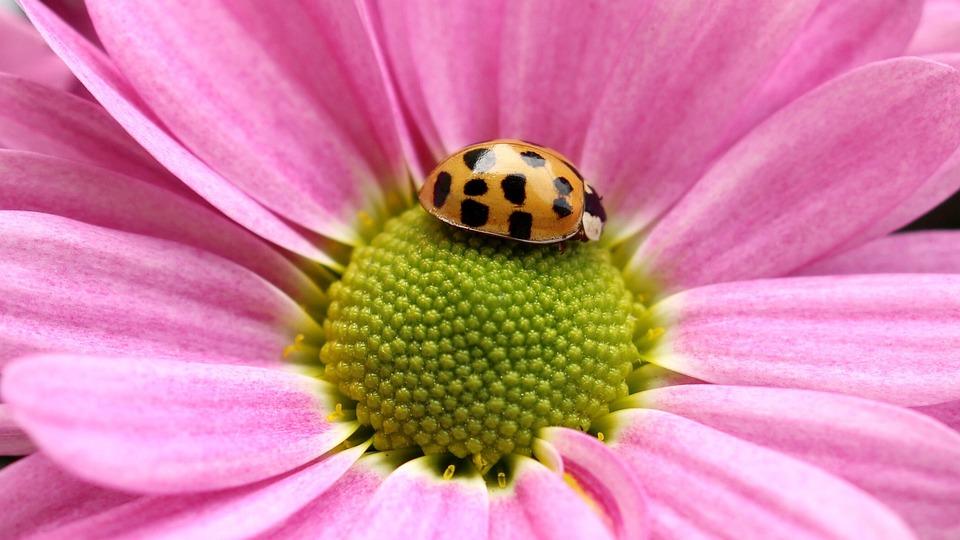 Flower, Gerbera, Ladybug, Nature, Blossom, Bloom, Pink