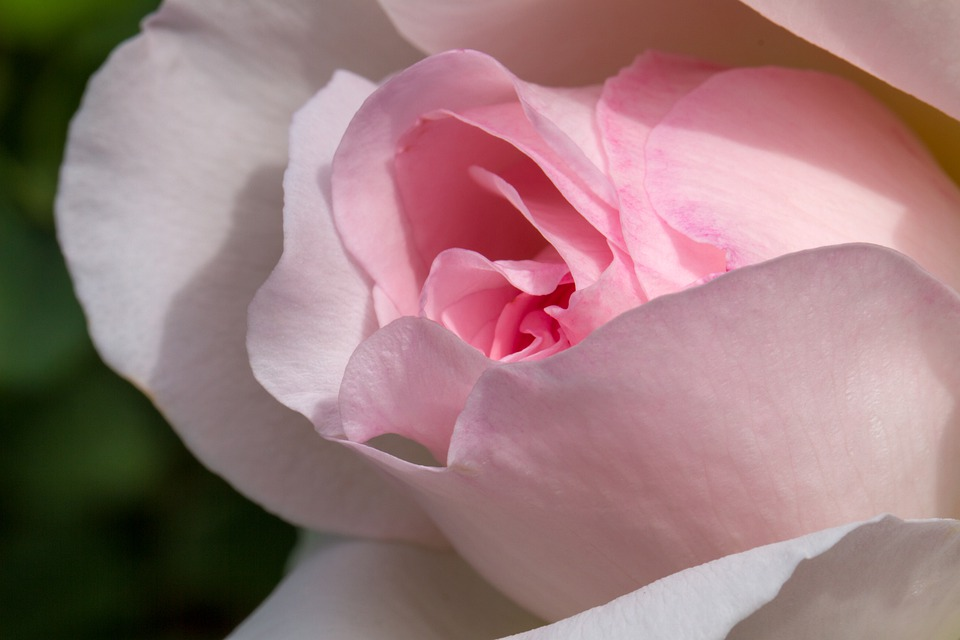 Rose, Flower, Nature, Pink, White, Romantic, Love