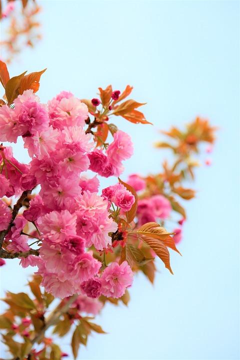 Flowers, Spring, Nature, Pink, Plant, Color, Flora