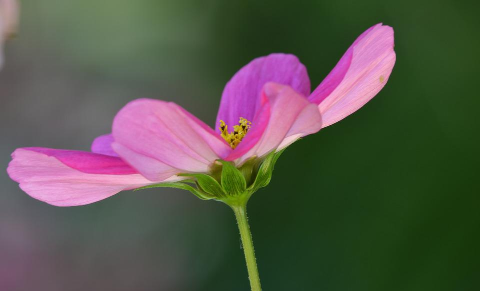 Flower, Cosmos, Nature, Pink, Purple