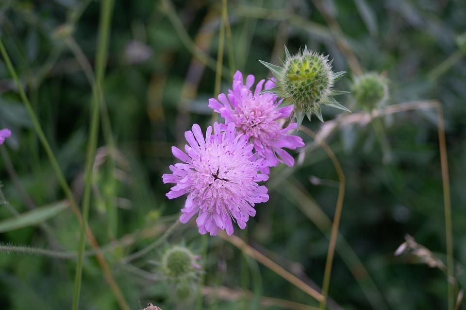 Thistle, Flower, Pink, Nature, Purple, Summer, Grass