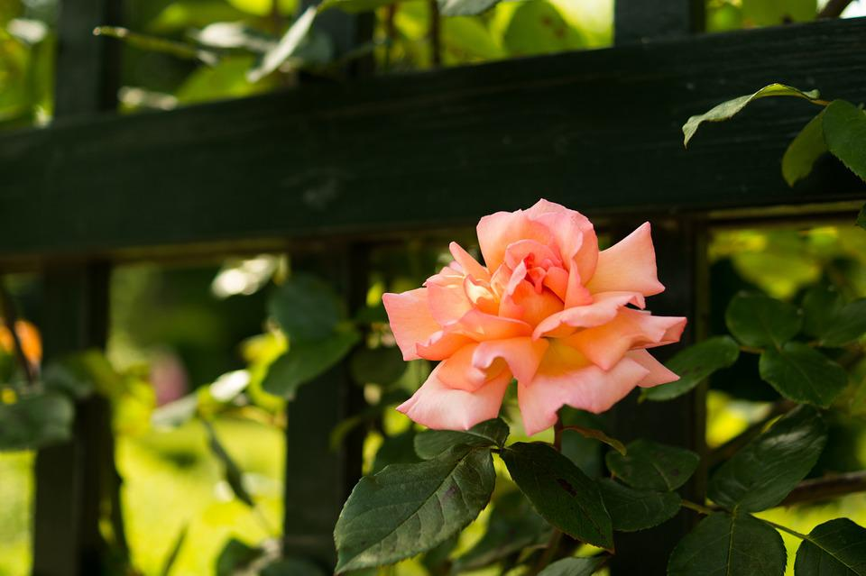 Rose, Pink, Flower, Fence, Garden, Nature, Beautiful