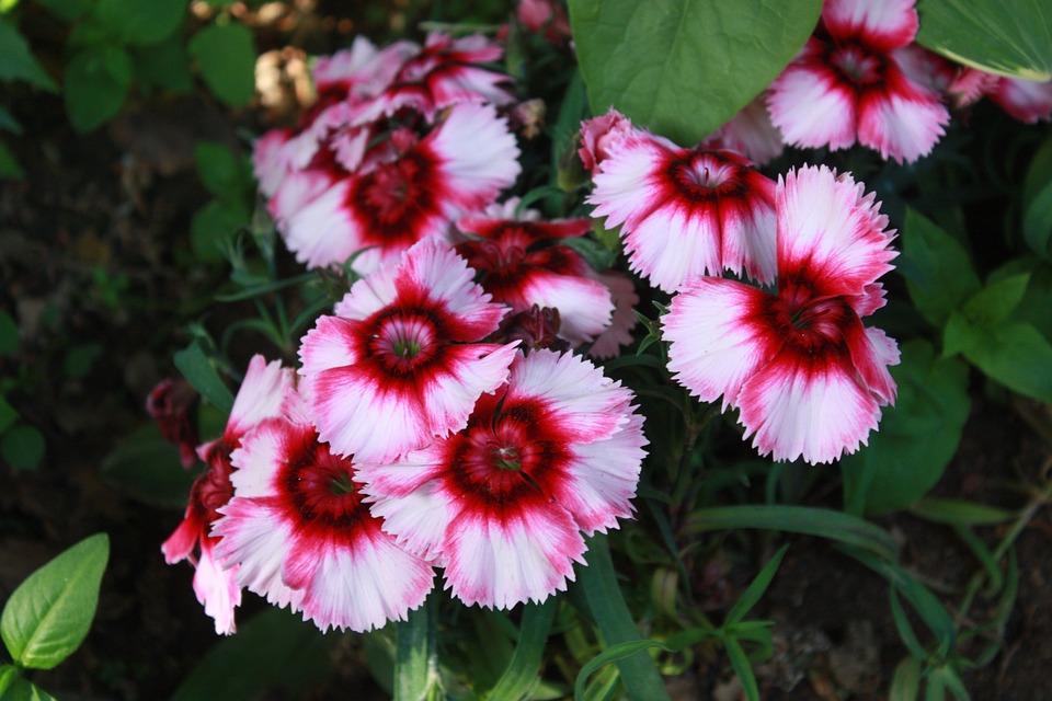 Flowers, Plants, Nature, Seoul, Morning Glory, Pink