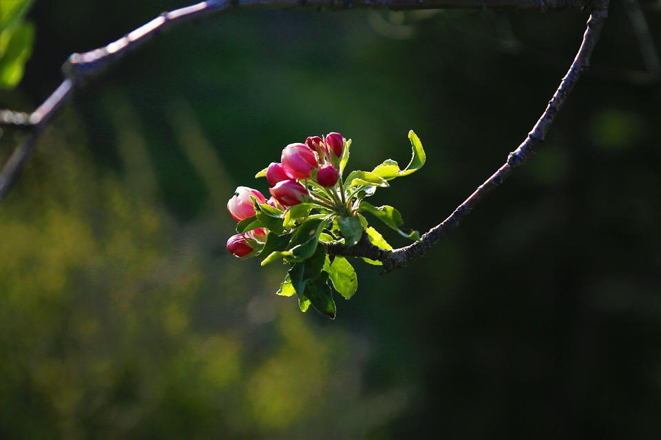 Flower, Nature, Bud, Apple, Tree, Spring, Plant, Pink