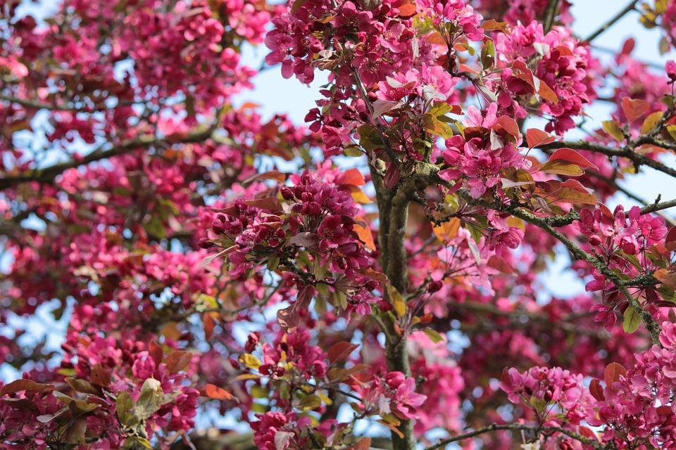 Malus Liset, Ornamental Apple, Pink, Apple Blossom