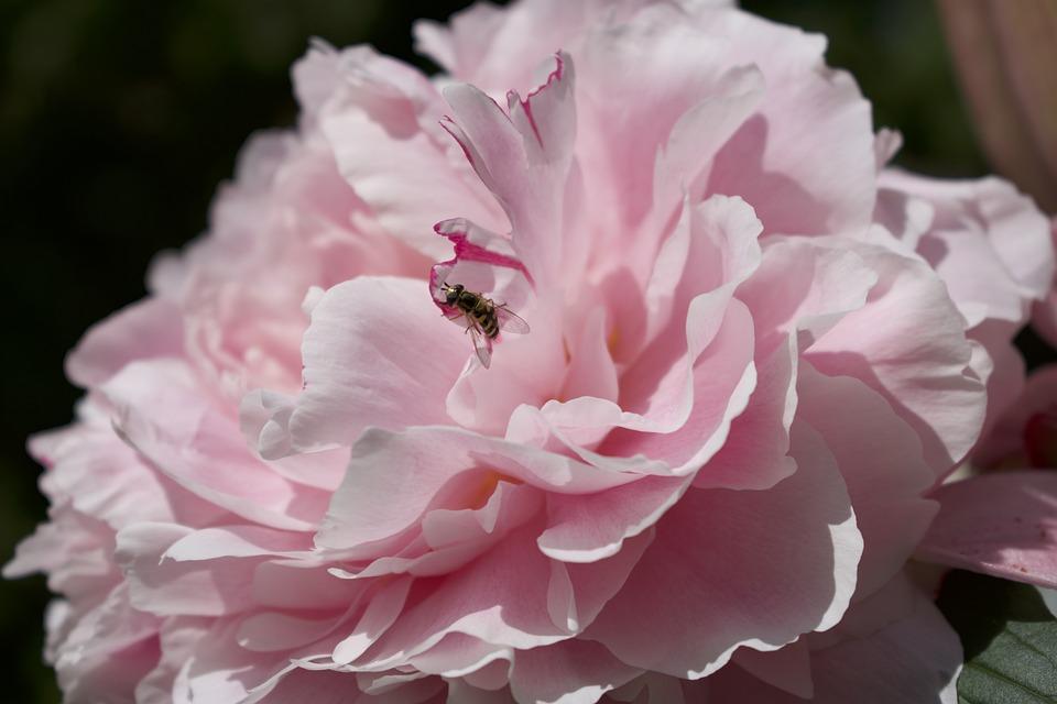 Peony, Pink, Petals, Sunshine, Blossom, Bloom, Flower
