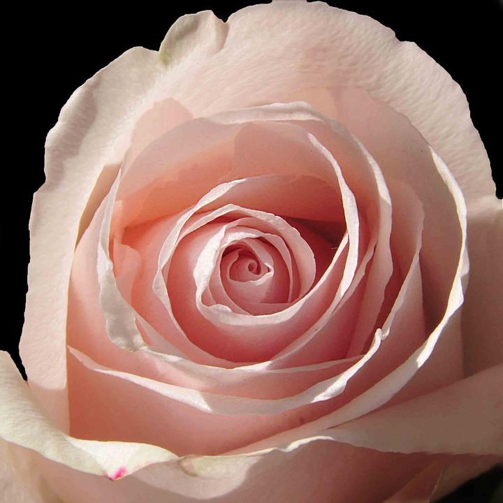 Flower, Pink, Petal, Rosette, Pink Flowers