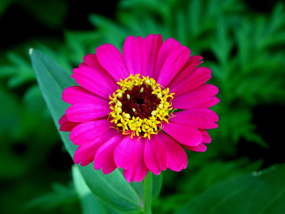 Chrysanthemum, Flower, Petals, Pink, Red Flowers