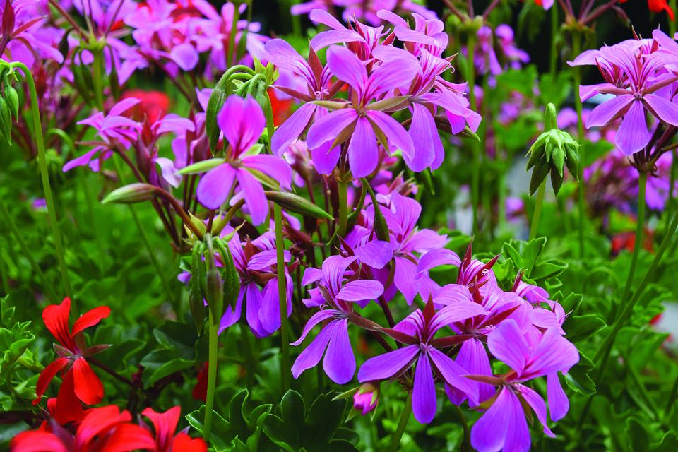 Geraniums, Flowers, Pink Flowers, Petals, Pink Petals